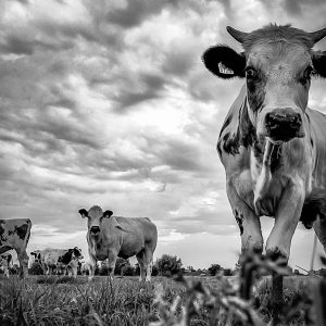 MvDF033 - Nieuwsgierige koeien uiterwaarden Oosterbeek